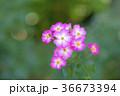 植物 花 ばらの写真 36673394