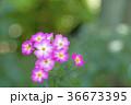 植物 花 ばらの写真 36673395