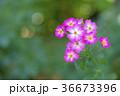植物 花 ばらの写真 36673396