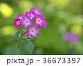 植物 花 ばらの写真 36673397