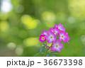 植物 花 ばらの写真 36673398
