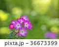 植物 花 ばらの写真 36673399