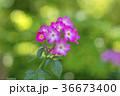 植物 花 ばらの写真 36673400