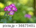 植物 花 ばらの写真 36673401