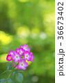 植物 花 ばらの写真 36673402