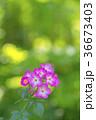 植物 花 ばらの写真 36673403