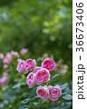 植物 花 ばらの写真 36673406