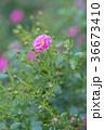 植物 花 ばらの写真 36673410
