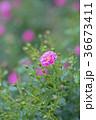 植物 花 ばらの写真 36673411