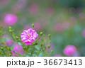 植物 花 ばらの写真 36673413