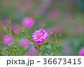 植物 花 ばらの写真 36673415