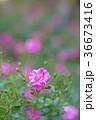 植物 花 ばらの写真 36673416