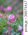 植物 花 ばらの写真 36673417