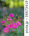 植物 花 ばらの写真 36673419