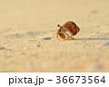 ヤドカリ オカヤドカリ 浜の写真 36673564