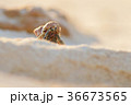 ヤドカリ オカヤドカリ 浜の写真 36673565