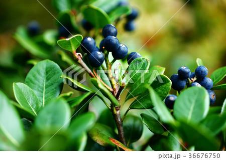 シャリンバイの実が熟す 36676750