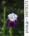 花 植物 菖蒲の写真 36678175