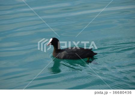 湖と水鳥 36680436