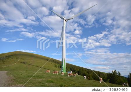 風車と牛 36680466