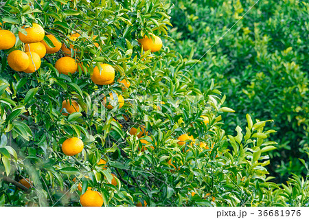みかんの一種 柑橘系の果物 ※種類はよくわかりません イメージとしてお使いください 36681976