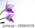 カトレア 花 薄紫の写真 36684558