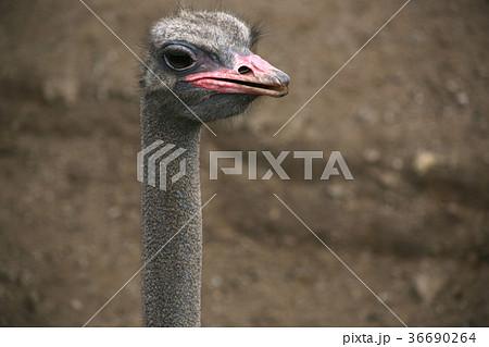 ダチョウの写真 ダチョウの顔|大型鳥類 動物園|Ostrich 36690264