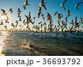 ゆりかもめ 鳥 野鳥の写真 36693792