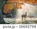 奈良公園 鹿 紅葉の写真 36693798