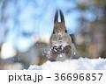 雪の中のエゾリス 36696857