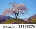 シダレザクラ 武尊山 春の写真 36696870