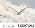 タンチョウ ツル 飛翔の写真 36697898