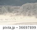 樹氷 タンチョウ ツルの写真 36697899