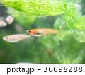 水槽のヒメダカ 36698288