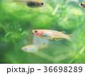 水槽のヒメダカ 36698289