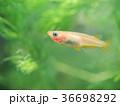 水槽のヒメダカ 36698292