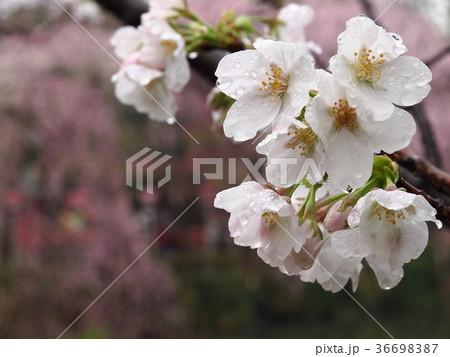 雨滴が滴る桜 36698387