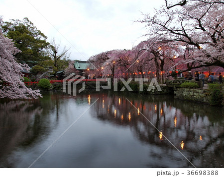 夜桜はこれから 36698388