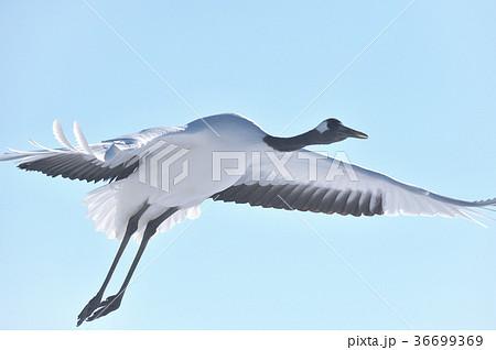 タンチョウの飛翔姿(北海道) 36699369