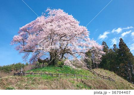一本桜 - 発知のヒガンザクラ 36704407