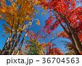 紅葉 秋 葉の写真 36704563
