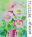 水彩ポピー白とピンク色ハナビシソウ手描きお花 36723711