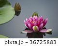 水に浮かぶ睡蓮の花 36725883