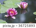 水に浮かぶ睡蓮の花 36725893
