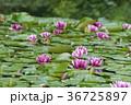 水に浮かぶ睡蓮の花 36725897