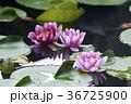水に浮かぶ睡蓮の花 36725900