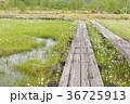 湿地のワタスゲと木道 36725913