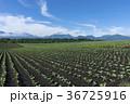 嬬恋のキャベツ畑 36725916