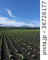 嬬恋のキャベツ畑 36726177