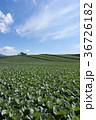 嬬恋のキャベツ畑 36726182